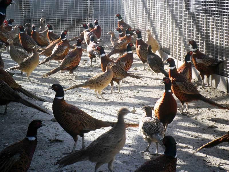 Бизнес-идея: разведение фазанов