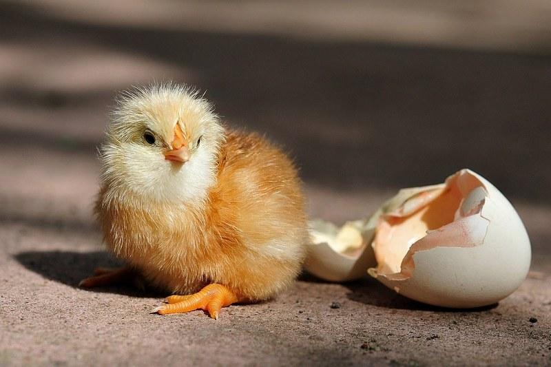 Бизнес на инкубации куриных яиц